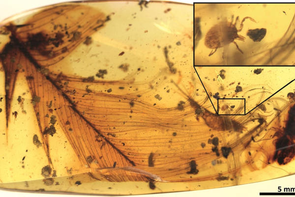 hard tick grasping a dinosaur feather preserved in 99 million year old burmese amber extracted from the publication 1024px
