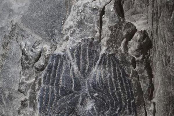 janus fish fossil alt2